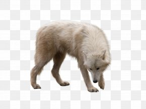 Wolf - Arctic Wolf Arctic Fox PNG