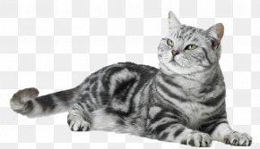 Peixe Gato - American Shorthair Malayan Cat European Shorthair Dragon Li American Wirehair PNG