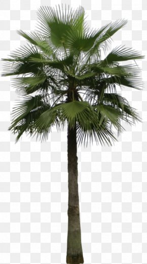 Tree - Mexican Fan Palm Arecaceae Areca Palm Tree Sago Palm PNG