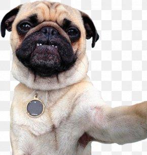 Puppy - Pug Dog Breed Puppy Companion Dog Toy Dog PNG