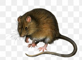 Mouse Rat Image - Rat Minnie Mouse Mickey Mouse Gerbil PNG