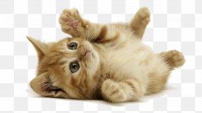Kitten - Kitten Desktop Wallpaper Siberian Cat Dog Cat Wallpapers PNG