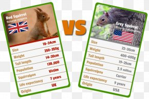 Red Squirrel - Red Squirrel Animal Eastern Gray Squirrel Tree Squirrel PNG