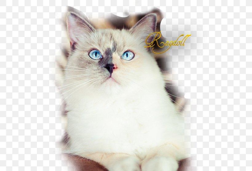 Ragdoll Asian Semi Longhair Birman Ragamuffin Cat Kitten