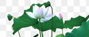 Great Green Lotus Lotus - Flowering Plant Aquatic Plant Flora Botany PNG