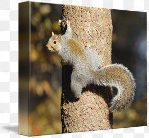 Squirrel - Fox Squirrel Chipmunk Tree Climbing PNG