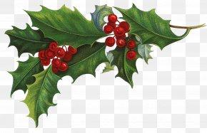 Mistletoe - Ilex Crenata Common Holly Christmas Aquifoliales Clip Art PNG