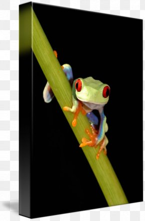 Red-eyed Tree Frog - Tree Frog Paper Post Cards Red Amphibian PNG