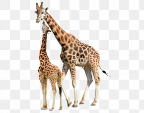 Giraffe Transparent - Reticulated Giraffe Stock Photography Baby Giraffes Northern Giraffe Image PNG