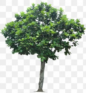 Jungle Tree Transparent - Fiddle-leaf Fig Weeping Fig PNG