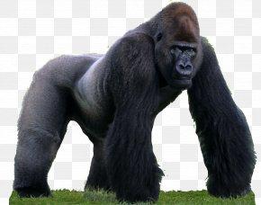 Gorilla - Western Gorilla Primate Common Chimpanzee Monkey Animal PNG