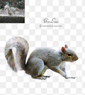 Sky Squirrel - Fox Squirrel Terrestrial Animal Wildlife PNG