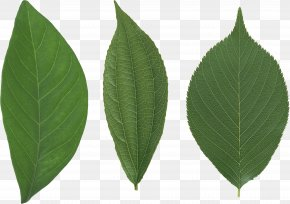 Green Leaf - Leaf Vegetable Drawing PNG