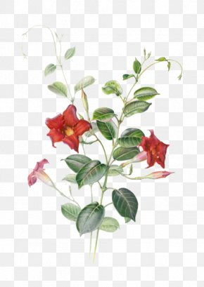 Red Star Flower - Mandevilla Sanderi Watercolor Painting Botanical Illustration Illustration PNG