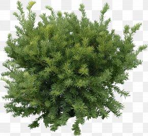 Fir-Tree Image - Fir Pine Tree Clip Art PNG