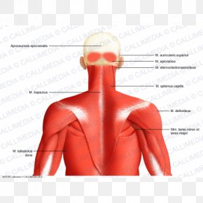 Latissimus Dorsi - Posterior Triangle Of The Neck Head And Neck Anatomy Muscle Human Body PNG