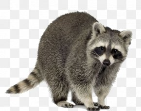 Raccoon Material - Raccoon Squirrel Trapping Pest Control Nuisance Wildlife Management PNG