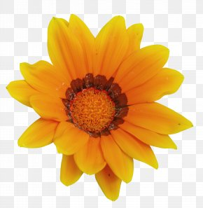 Sunflower - Calendula Officinalis Mexican Marigold Flower Tagetes Lucida Clip Art PNG