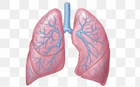 Lungs Transparent Images - Lung Respiratory System Respiratory Tract Anatomy Respiration PNG
