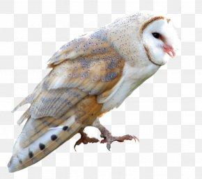 Owl - Barn Owl True Owl Barn-owl PNG