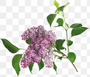 Lilac - Lilac Flower Clip Art PNG