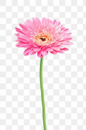 Pink Gerbera - Flower Stock Photography Gerbera Jamesonii Common Daisy PNG