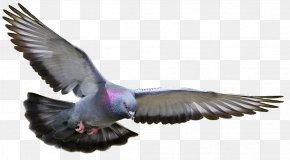 Pigeon Clipart - Homing Pigeon Columbidae Fancy Pigeon Bird Pigeon Racing PNG
