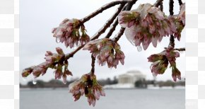 Cherry Blossoms - Tidal Basin East Coast Of The United States March 2017 North American Blizzard Northeastern United States Winter Storm PNG