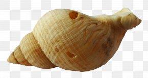 Shell Cartoon - Seashell Cockle Mollusc Shell Clip Art Clam PNG
