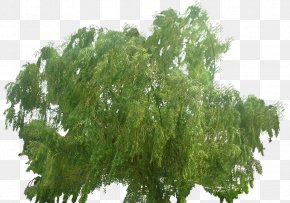 Willow Trees - Weeping Willow Tree Deciduous Conifers PNG