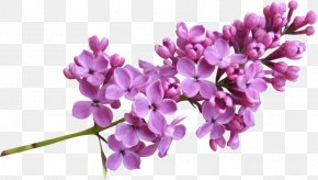 Lilac Image - Lilac Clip Art PNG