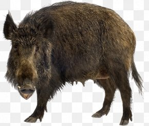 Boar - Wild Boar Stock Photography Brown Bear Stock.xchng PNG