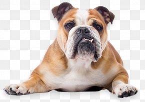 Bulldog - Toy Bulldog French Bulldog American Bulldog Puppy PNG