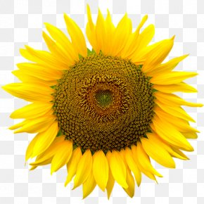 Sunflower Vector - Clip Art Common Sunflower Computer File Image PNG