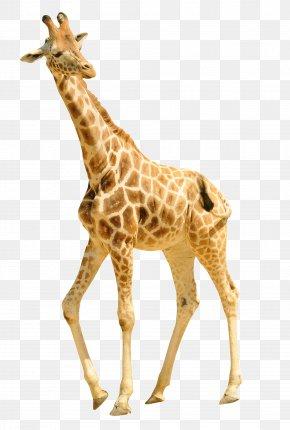 Walking Giraffe - Giraffe Cheetah Animal Lion Antelope PNG