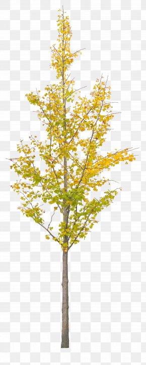 A Ginkgo Tree - Ginkgo Biloba Tree PNG