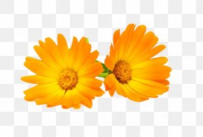 Marigold Flowers HD Pictures - Calendula Officinalis Flower Chrysanthemum Marigold PNG