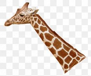 Giraffe - Northern Giraffe Leopard Lion Masai Giraffe Neck PNG