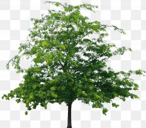 Tree File - Tree European Aspen PNG