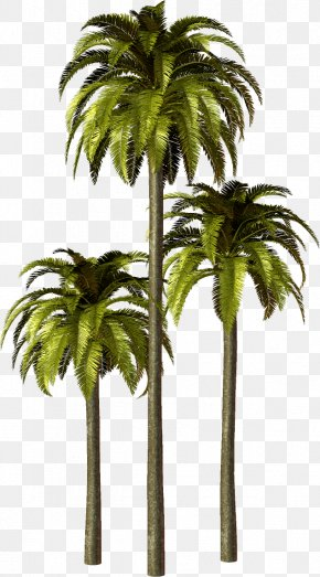 Arecaceae Asian Palmyra Palm Babassu PNG