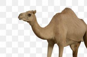 Camel - Bactrian Camel Dromedary PNG