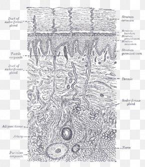 Gland - Gray's Anatomy Human Skin Tactile Corpuscle PNG