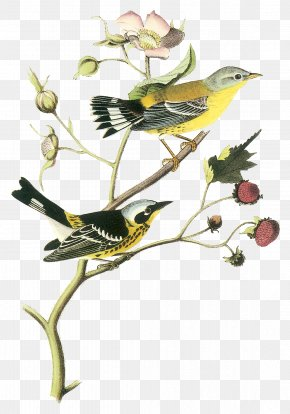 Bird - The Birds Of America New World Warblers National Audubon Society Printing PNG