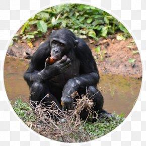 Chimpanzee - Common Chimpanzee Lola Ya Bonobo Primate Virunga National Park PNG