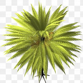 Date Palm - Arecaceae Date Palm Tree Asian Palmyra Palm PNG