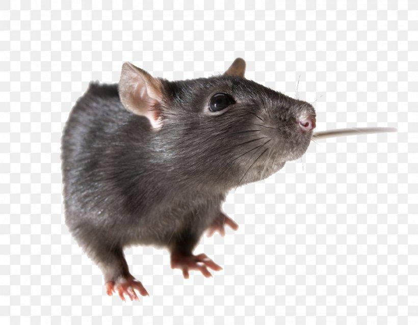 Brown Rat Mouse Rodent Black Rat, PNG, 1570x1223px, Brown Rat, Black Rat, Display Resolution, Dormouse, Fauna Download Free