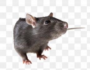 Rat Pic - Brown Rat Mouse Rodent Black Rat PNG