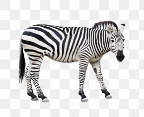 Zebra - Burchell's Zebra Animal Horse Wildlife PNG