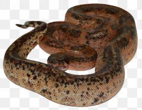 Boa Constrictor - Boa Constrictor Kingsnakes Reptile Rattlesnake PNG