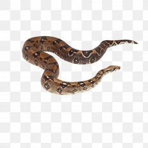 Snake - Crotalus Cerastes Snake Reptile Boa Constrictor PNG